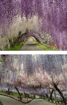Whisteria Tunnel Japan