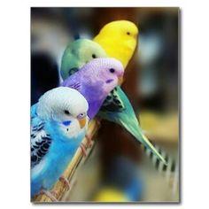 Shop Parakeets Postcard created by saradaboru. Cute Birds, Pretty Birds, Beautiful Birds, Parrot Toys, Conure, Bird Perch, Bird Toys, Exotic Birds, Budgies