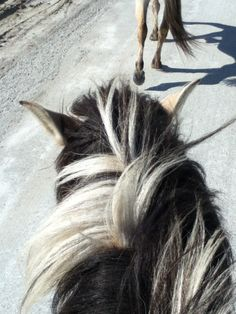 Riding a fjord with a non cut mane feels like the horse is fat, or the fluffiest thing you've ever seen!