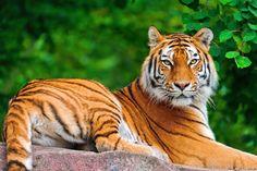 soy un tigre de bengala