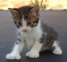 Love Manx kittens and cats