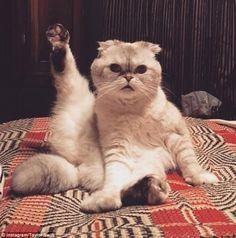 Taylor Swift's cat Olivia does a copycat pose of Victoria Beckham! #cats #catsofpinterest #victoriabeckham #taylorswift #spicegirls