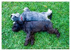 Miniature Schnauzer duo from Ditmeister blog.