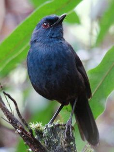 The Great Shortwing (Heinrichia calligyna) is a species of bird in the Turdidae family, and the only member of its genus. It is endemic to Sulawesi in Indonesia.