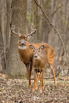 White-tailed deer buck and doe in rut;  Minnesota in wild. By Nathan Lovas