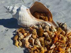 harvest of sanibel seashells - I Love Shelling's photo