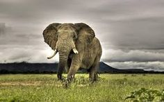 Risultati immagini per immagini di elefanti
