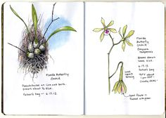 Image result for florida butterfly orchid botanical
