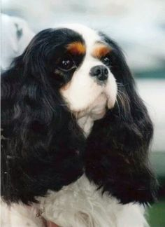 Beautiful Tricolor Cavalier with glorious ears!