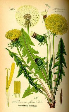 """Иллюстрации из книги """"Флора Германии, Австрии и Швейцарии"""" (1885)"""