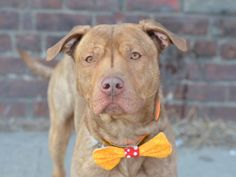 TO BE DESTROYED 2/18/15 Brklyn Ctr -P  FREDDY  ID #A1027084. Male br brindle bully mix 2 YRS old***BEAUTIFUL BRINDLE BOY - ON DEATH ROW!!! Such a lovebug this guy, very sweet, playful and fun. Housetrained. Does know some commands and is a good listener. Would do best in a home that will exercise him appropriately. He is a beauty. Would be a great exercise buddy as well as a fury partner you can cuddle with on those long cold nights!