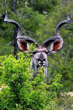 Big kudu bull, photograph taken in South Africa   © Arno & Louise #Wildlife #wanimals