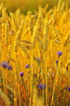 Golden Grains...