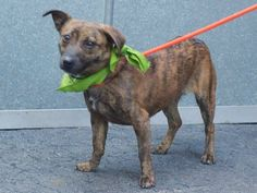 SAFE --- Manhattan Center   JENNY - A1022997   FEMALE, BR BRINDLE / WHITE, AM PIT BULL TER MIX, 6 mos STRAY - STRAY WAIT, NO HOLD Reason STRAY  Intake condition EXAM REQ Intake Date 12/12/2014,  Main thread: https://www.facebook.com/photo.php?fbid=921609584518588