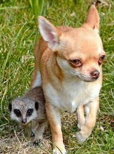 what did I say about chihuahuas and meerkats!!!!!!
