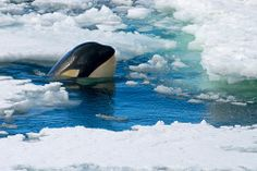 23125-Killer-whale-surfacing-in-the-pack-ice by Jim Tchobanoff | Flickr - Photo Sharing!