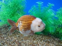Goldfish Auction 12/30/12 Coffee Ranchu with white head by Goldfishnet.com.  Tommy, Owner