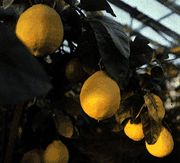 Tips for growing lemon trees indoors!