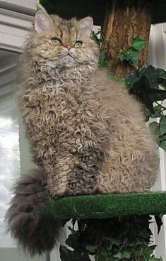 best images and photos ideas about selkirk rex - most effectionate cat breeds Curly Haired Cat, Curly Cat, Cute Cats And Kittens, Cool Cats, Kittens Cutest, Ragdoll Kittens, Tabby Cats, Funny Kittens, Bengal Cats