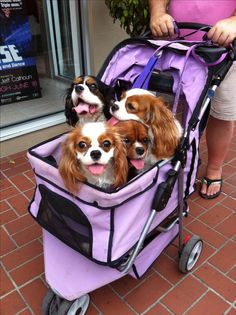 Saw this stroller of puppies on the street.. So cute!!!
