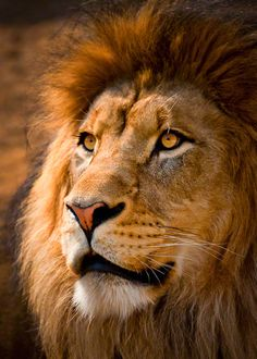 Lion Portrait by Dave Wright, via 500px  (It looks like he knows how magnificent he is.