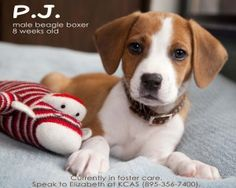 PJ is an adoptable Beagle Dog in Fort Mitchell, KY. My name is PJ. I am a beagle boxer (maybe) mix and I weigh about 4 pounds and I am 6 weeks old. My foster mom says I am in my 'chewing phase' so d...