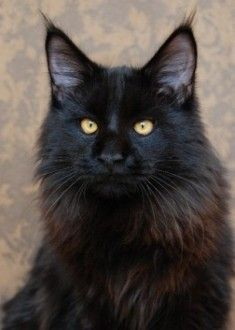 This gorgeous Maine Coon is a dark colored tone on tone tabby with a wonderful rough. He reminds of my Teddycat. http://www.mainecoonguide.com/maine-coon-personality-traits/