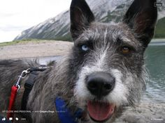 Hannah, ARF Calgary rescue. Best dog ever. Husky heeler cross