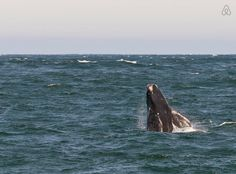 Whale watching in Hermanus Whale Watching, Ocean, Animals, Cape Town, Animales, Animaux, The Ocean, Animal Memes, Animal