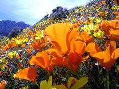 California Poppies, Ridgecrest, CA!!