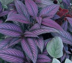 Strobilanthes dyerianus Strobilanthes is commonly called Persian Shield, a name intended to describe the shape and exotic coloring of the stunning foliage Shade Garden Plants, Purple Plants, Purple Garden, Purple Perennials, Fine Gardening, Container Gardening, Texas Gardening, Outdoor Plants, Outdoor Gardens