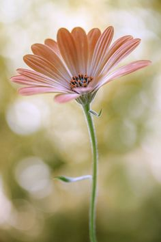 Daisy by Mandy Disher on 500px
