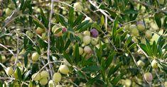 Minden, amit tudni érdemes az olajfák gondozásáról, neveléséről, mostani cikkünkben mindent megtudhattok az olajfák neveléséről! Olvasd el írásunkat és tudj meg mindent az olajfákról! negyedik oldal Herbal Tinctures, Dry Leaf, Olive Tree, Serving Size, Vegetable Garden, Herbs, Leaves, Organic, Fruit