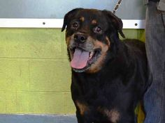 TO BE DESTROYED - 11/10/14 Brooklyn Center   My name is DUTCH. My Animal ID # is A0696809. I am a neutered male black and tan rottweiler. The shelter thinks I am about 9 YEARS old.  I came in the shelter as a OWNER SUR on 10/30/2014 from NY 10314, owner surrender reason stated was MOVE2PRIVA.