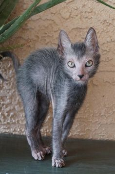 """the wolf cat - the lykoi Signs That Your Cat Might Be Stressed"""" Though we are a Maine Coon site, stress is a serious issue for any cat which is why this article is not specific to our featured breed. Scary Animals, Animals And Pets, Funny Animals, Cute Animals, Rare Cats, Exotic Cats, Cats And Kittens, Rare Cat Breeds, Cats Meowing"""