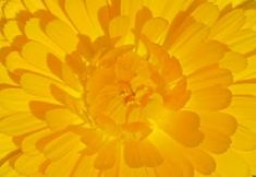 Why not plant some Calendula? | Root Simple