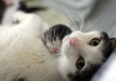 The kitten is so cute on the mom