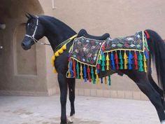 Black Arabian in Native Costume. Majestic Horse, Majestic Animals, Beautiful Horses, Arabic Horse, Black Arabian Horse, Horse Costumes, Arabian Costumes, Pet Meds, Arabian Stallions
