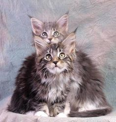 Chocolate Love and Winter Joy -- Maine Coon kittens