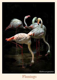 Flamingo by Saelanwangsa