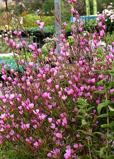 "Long blooming, drought tolerant and clay friendly California native Clarkias annuals. they self-sow reliably, so you'll have new volunteers every year, brand new plants that never look aged or sad. Exceptionally exuberant, ""Ruby Chalice Clarkia"" quickly reaches 30"" x 30"", displaying a profusion of 2"" cherry centered lavender-pink blooms beginning in May and lasting till midsummer and even Fall (with some water)."