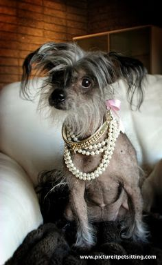 Chinese Crested Dog- Geisha The Super Model by Melissa Bain at pictureitpetsitting.com