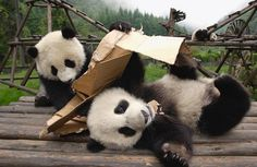 Two Adorable Little Baby Panda Cubs frolicking around together with a flattened cardboard box