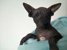 Americký bezsrstý teriér American Hairless Terrier