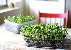 Los microgreens son germinados a los que dejamos crecer un poco más hasta que tengan los dos cotiledones y el tallo y en ocasiones también un par de hojas definitivas. Tienen muchas ventajas nutric…