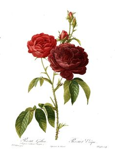 "What is a Hybrid Gallica? Sometimes referred to as the ""Mad Gallicas"" due to their often wild colors, the Gallicas are one of the oldest bred rose families. Gallicas are usually quite fragrant (with a few exceptions). The plants are small (about 3 to 4 feet), once blooming, and winter hardy. Illustration: Rosa gallica Evêque by Redouté."
