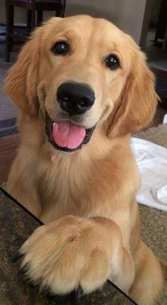 How To Train Puppies Golden Retriever Super Cute Puppies, Cute Baby Dogs, Cute Little Puppies, Cute Dogs And Puppies, Cute Little Animals, Cute Funny Animals, Pet Dogs, Pets, Doggies