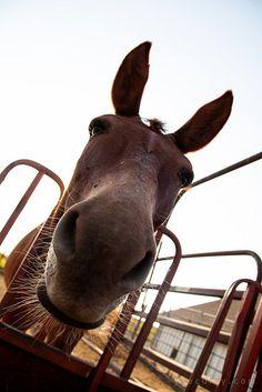 Barney the mule
