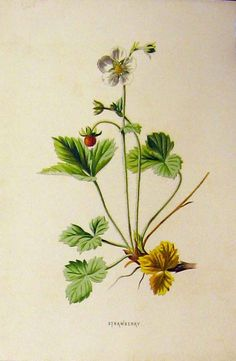 [C1890 Colour Antique Botanical Print Strawberry Plant]