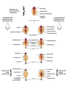 Genital development, color-coded to show homologous tissues Circumcision, Fertility, Female Bodies, Determination, Birth, Knowledge, Babies, Kids, Color
